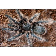 Паук-птицеед Brachypelma albopilosum 1 см L2-3