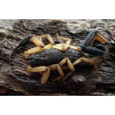 Скорпион Centruroides bicolor 1 см L1-2