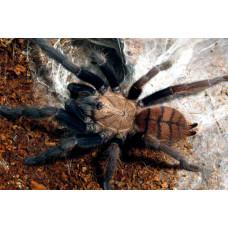 Паук-птицеед Chilobrachys fimbriatus самка 4.5 см