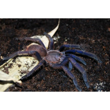 Паук-птицеед Chilobrachys sp. Vietnam Blue 1.5 см L5-6