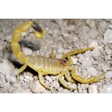 Скорпион Leiurus quinquestriatus L1-2