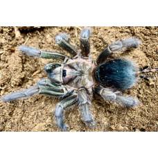 "Паук-птицеед Phormictopus sp. ""Green Femur"" 1 см L1-2"