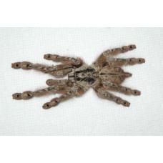 Паук-птицеед Stromatopelma calceatum 1 см L1-2