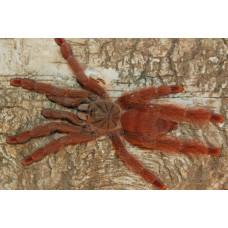 Паук-птицеед Tapinauchenius gigas 1.5 см L3-4